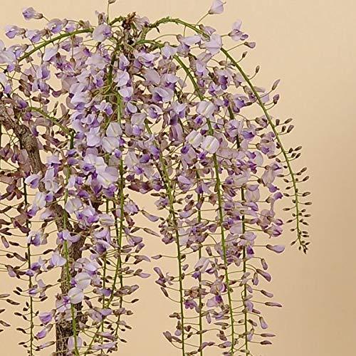 人気花物盆栽:桜・藤寄せ(大・瀬戸焼鉢)*【春に開花】