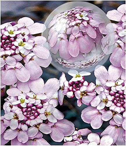BALDUR Garten Winterharter Bodendecker Iberis Schleifenblume 'Pink Ice®', 2 Pflanzen winterhart