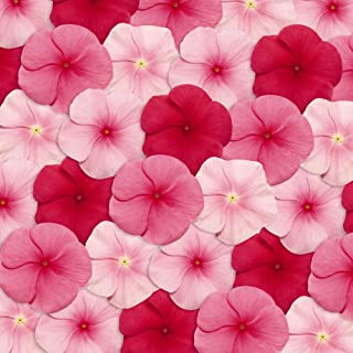 Outsidepride Vinca Pacifica XP Lipstick Flower Seed Mix - 100 Seeds