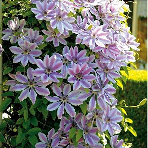 Acecoree Samen- 50 Clematis Kletterpflanzen clematis Blumen immergrün winterhart mehrjährig Blumensamen Mischung Blumen Saatgut Sedum Blumensamen bis zu 1.7 Meter (#01)