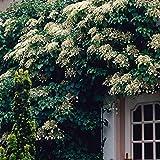 2x Hydrangea Anomala | 2er Set Kletterhortensie weiß | | Höhe 55-65cm | Topf-Ø 15cm