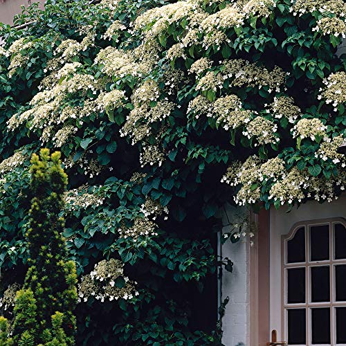 2x Hydrangea Anomala | 2er Set Kletterhortensie wei? | | Höhe 55-65cm | Topf-Ø 15cm