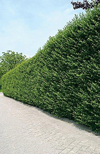 Ovalblättriger Liguster -Ligustrum Ovalifolium- Hecken-Pflanze immer-grün Containerware 60-80cm- Ligusterhecke von Garten Schlüter (Containerware, 60 bis 80 cm Pflanze)