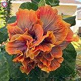Elitely 11 11 100 Stcke Doppel Bltenbl tter Riesen Hibiskus Samen Seltene Farbe Bonsai Blumensamen E Blume Mehrj hrige Garten Blumensamen:
