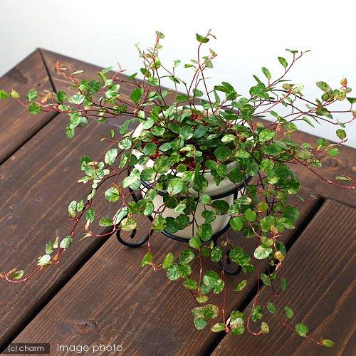 (観葉植物)ワイヤープランツ スポットライト 斑入り 3号(1ポット)