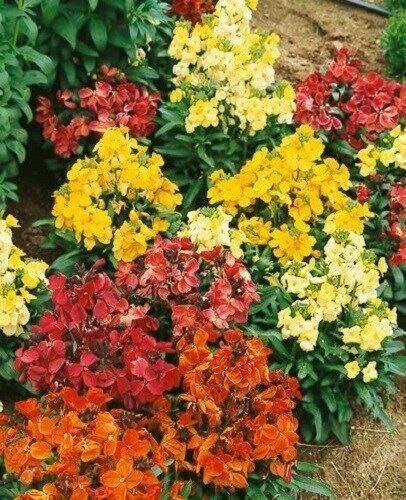 erysimum慈善花卉种子混合/香味/多年生jocad(50多种子)