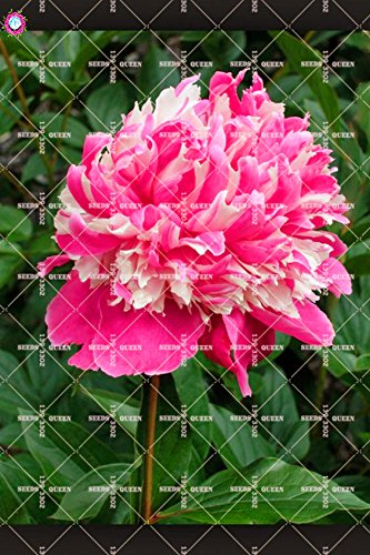 10 pcs Double Blooms Pivoine Graines Heirloom Sorbet robuste Pivoine rouge Bonsai Graines de fleurs Pot Arbre Pivoine Jardin Graines Plante 4