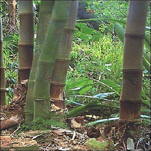 Tropica - Bambú gigante (Dendrocalamus giganteus) - 50...