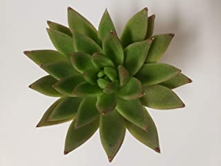 Echeveria Agavoides Red Tip Succulent Drought Tolerant Healthy 2.5 Plant