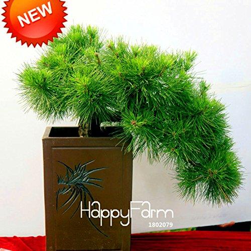 400 particules / lot, japonais Graines d'ornement en pot Pine Seeds Osaka Bonsai Pine Tree pour bonsaï maison et le jardin