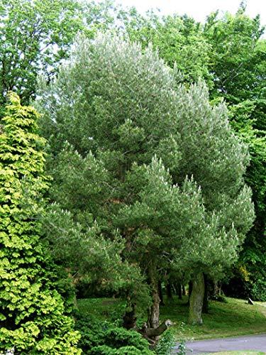 1 oz Seeds (Approx 1505 Seeds) of Pinus halepensis, Aleppo Pine, Jerusalem Pine