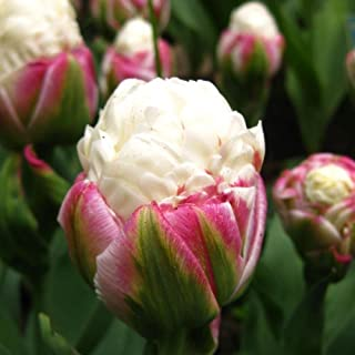 Rare 'Ice Cream' Tulip 5 Bulbs - Vanilla & Strawberry Scoop - 11/12 cm Bulbs