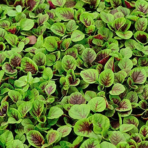 Seattle Mall Dichondra 25 Amaranth Seeds Vegetable Overseas parallel import regular item