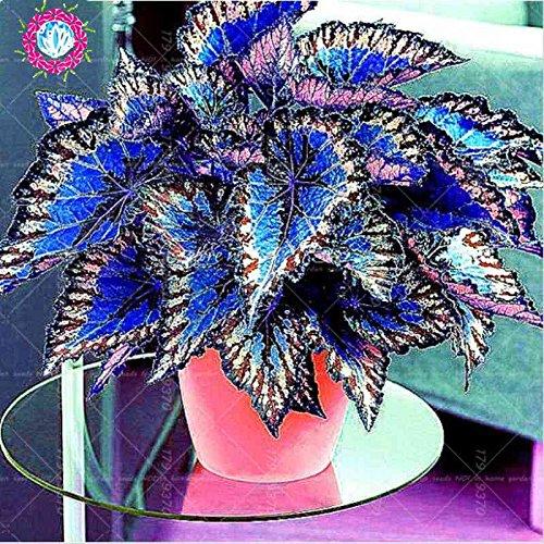 Bonsai coleo plantas de semillas de follaje de color perfecta Semillas de arco hermosas flores de plantas de jardín Semente 100pcs semillas 1