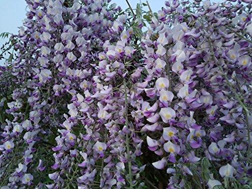 Blauregen-Wisteria-Glyzine 'floribunda 'Isaii' (veredelte Pflanze) 80 - 100 cm