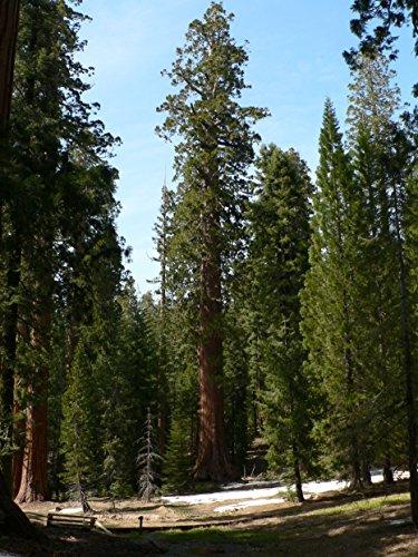 Asklepios-seeds® - 500 Semillas Sequoiadendron giganteum Secuoya gigante, secuoya, secoya gigante, velintonia, wellingtonia, secoya de Sierra, gran árbol