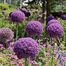 Allium Giganteum Flower Bulbs - Perfect Little Purple Florets That Create a Large Round Ball - Includes 3 Flower Bulbs
