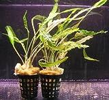WFW wasserflora Genoppter Wasserkelch/Cryptocoryne crispatula VAR....