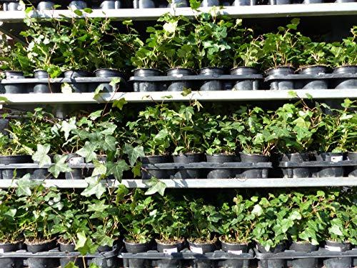 25 Stück Efeu Hedera helix 20-35 cm Heckenpflanze winterhart Kletterpflanze Hecke Sichtschutz blickdicht