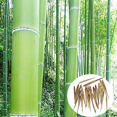 Bluelover Árbol Siempreverde De 100Pcs Jardín Bambú...