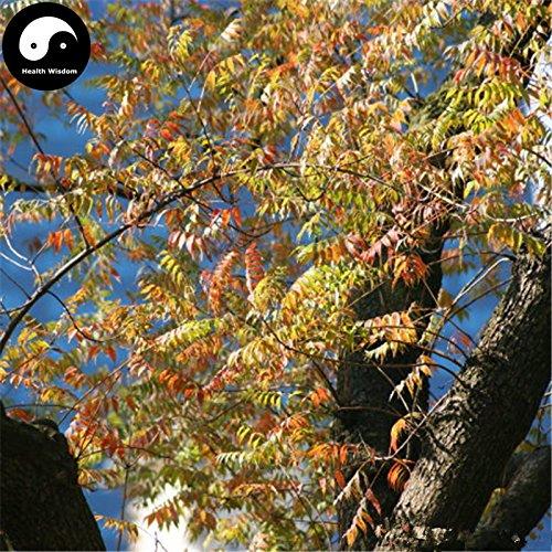 Acheter Pistache arbre Graines de plante Pistacia chinensis Arbre Pour Pistache Arbre