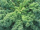 La quantità del pacchetto è 12 Vendiamo solo semi Semi ad alto tasso di germinazione La restituzione della merce non è disponibile 75 sementi biologiche cavolo riccio Variety - Cavolo ica Superfood