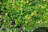 Sandys Nursery Online Ficus Pumula Quercifolia, Mini Oak Leaf Creeping Fig, Lot of 2 Starter Plants