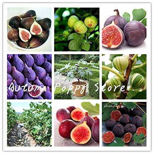 SANHOC Versandkosten 100 Stück Seltene Tropische Feigen Bonsai Plant Mini Feigenbaum Obst Pflanzenaußen Seltene Frucht Für Privatanwender Pflanze 98% Keimung