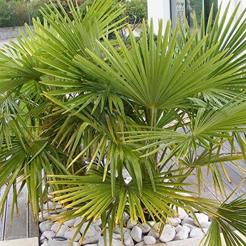 Trachycarpus fortunei - Chamaerops excelsa - Palmier chanvre de Chine