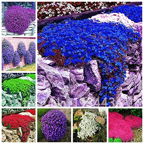 Qulista Samenhaus - Rarität 100pcs Polsterthymian Bodendecker, Immergrüner duftender Blütenteppich, Blumensamen winterhart mehrjärhig für Böschungen, Rabatte und Steingärten