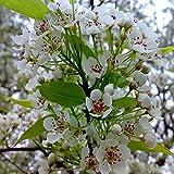 20pcs / sac graines de sakura graines de cerisier pleureur fontaine de fleurs nains bonsaï de fleurs japonais pour le bricolage Accueil Jardin plantes 09