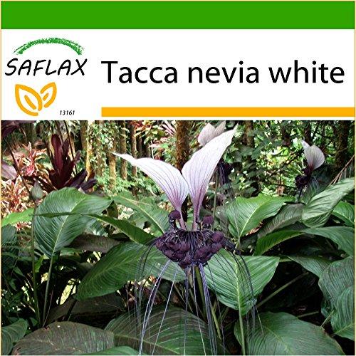 SAFLAX - Nepalesische Riesen - Fledermausblume - 10 Samen - Mit keimfreiem Anzuchtsubstrat - Tacca nevia white