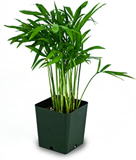 Chamaedorea elegans - Neanthe bella (Parlor Palm)