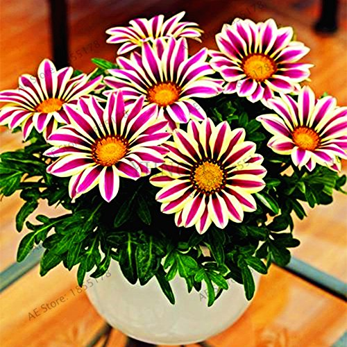 100pcs / sac Rare Fleurs graines Gazania rigens Graines Accueil Balcon Jardin Bonsai d'ornement Splendens Chrysanthème