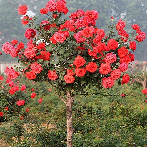100pcs/sac Rose Rose Tree Graines Bonsaï Graines de fleurs Graines exotiques Décor de jardin Plante en pot pour jardin