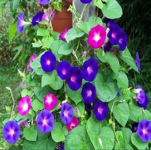 Flower Morning Glory Mix (Ipomoea Purpurea) Petunia Garden And Patio Potted Plant Morning Glory Seeds Balcony Petunia 20Pcs U58