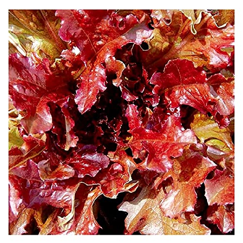 500 Red Salad Bowl Lettuce Seeds | Non-GMO | Fresh Garden Seeds | Instant Latch
