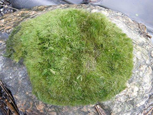 Mühlan - 5 x winterharter Teichrasen, jede Matte mind. 5x7 cm, Gegen Algen und Schmutz, Unterwassergras, Moos, Begrünung des Teichrandes, Unterwasserrasen