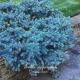 SwansGreen 100pcs Evergreen Colorado Blue Spruce Seeds Picea Pungens Glauca Bonsai Tree Seeds Home Garden Tree Plant DIY