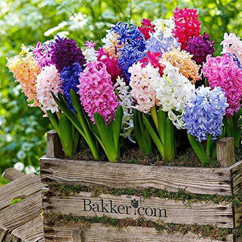 10x Hyacinthus orientalis | 10er Mix Hyazinthen Zwiebeln | Blumenzwiebeln Frühblüher Ø 14-15cm