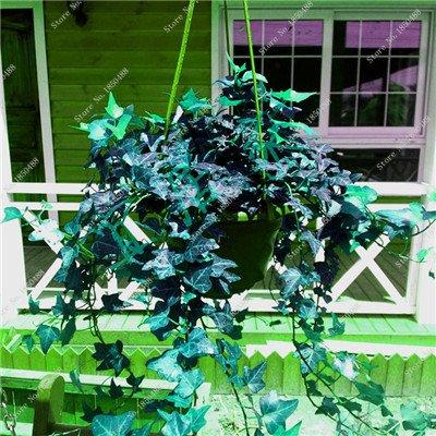 Colorés suspendus Parthenocissus tricuspidata semences vivaces herbes de fleurs Pot plantes anti-radiations des rayons ultraviolets 50 Pcs 15