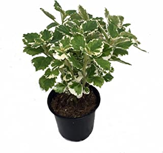 Best variegated swedish ivy care Reviews