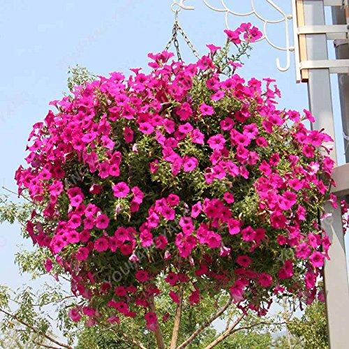 200 pcs/sac Petunia Graines Bonsaï Graines de fleurs Court Taille Jardin Fleurs Graines d'intérieur ou extérieur Plante en pot Livraison gratuite Effacer