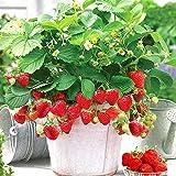 いちご苗 すずなり大実いちご【野菜苗 10.5cmポット/2個セット 肥料】四季成り性で収穫期間が長く高糖度で 家庭菜園でもしっかりとれる!甘くて香り良く育てやすくて沢山成る大実いちごです!果実の形がよく 中は赤く 甘味と酸味のバランスもよい 高糖度で濃厚な食味が特徴です。病害虫に強く どなたでも簡単に放任栽培ですずなりの実がとれる多収穫の四季成り大実いちご。自社農場から新鮮苗直送。