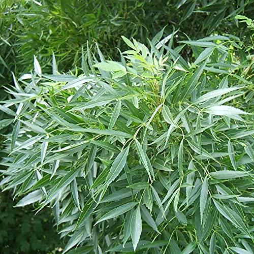 Frêne Oxyphylle (fraxinus Angustifolia)