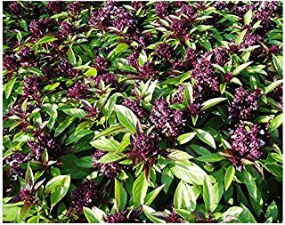 100+ ORGANICALLY GROWN Thai Siam Queen Basil Seeds Heirloom NON-GMO Fragrant, Delicious and Flavorful, From USA