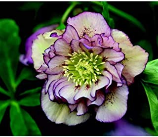 Earth Seeds Co 100 Pcs Lenten Rose Flower Seeds,Helleborus Wedding Party Blushing Bridesmaid, Excellent in a Container