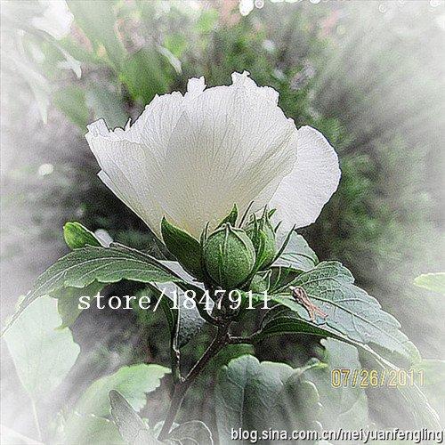 Big vente moscheutos Fleurs d'hibiscus, Hibiscus moscheutos, graines de fleurs, environ 25 particules