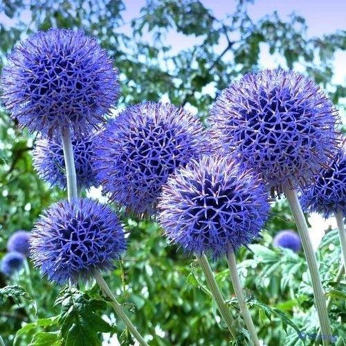 vegherb Globe Blaue Distel Blumensamen (Echinops Ritro) 30 + Seeds