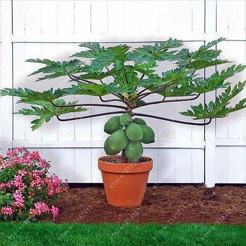Pas cher! 30PS / sac nain Hovey Graines de papaye bonsaï graines d'arbres de graines de fruits bio rare papaye plante fruits délicieux en pot pour le jardin à la maison - Arcis Nouveau